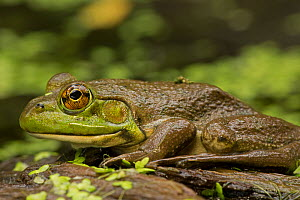 Bullfrog (Rana catesbeiana / Lithobates catesbeianus) portrait, New York, USA, September. - John Cancalosi