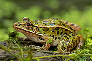 Leopard frog (Lithobates pipiens) portrait, New York, USA, September.  -  John Cancalosi
