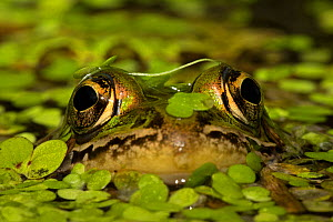 Leopard frog (Lithobates pipiens) with eyes above water, New York, USA, September.  -  John Cancalosi