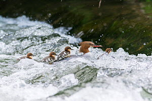 Goosander (Mergus merganser) adult female with four ducklings negotiating weir. River Wye, Peak District National Park, Derbyshire, England, May. - Gary  K. Smith