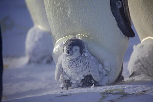 Emperor penguin (Aptenodytes forsteri) covered in clumps of snow sitting on parent's feet sheltering in brood pouch, Antarctica, September. - Fred  Olivier