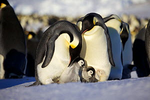 Two Emperor penguins (Aptenodytes forsteri) with chicks, one having escaped from brood pouch, Antarctica, August.  -  Fred  Olivier