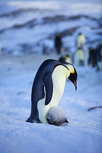 Emperor penguin (Aptenodytes forsteri) with chick facing into brood pouch, Antarctica, September.  -  Fred  Olivier