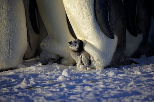 Emperor penguin (Aptenodytes forsteri) chick in brood pouch, Antarctica, August.  -  Fred  Olivier