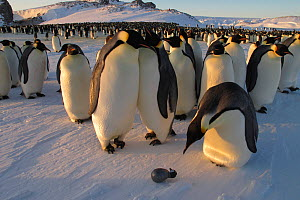 Emperor penguins (Aptenodytes forsteri) curious one looking at fake chick, Antarctica, July.  -  Fred  Olivier