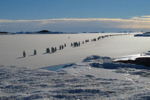Emperor penguin (Aptenodytes forsteri) procession crossing newly formed sea ice on the way to their breeding grounds, Emperor penguin Antarctica, March.  -  Fred  Olivier