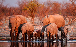 RF- African elephants (Loxodonta africana) drinking at sunset. Etosha National Park, Namibia. (This image may be licensed either as rights managed or royalty free.)  -  Sharon Heald