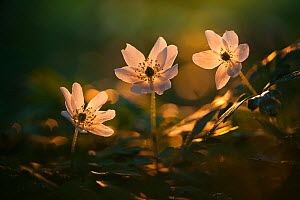 Wood anemone (Anemone nemorosa) in late evening sunlight, New Forest National Park, Hampshire, England, UK, April.  -  Guy Edwardes / 2020VISION