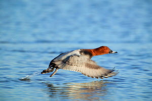 Male Pochard (Aythya ferina) in flight, Catcott Lows SWT Reserve, Somerset Levels, England, UK, January.  -  Guy Edwardes / 2020VISION
