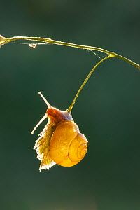 White-lipped snail (Cepaea hortensis) on a grass stem, Somerset Levels, England, UK, June. - Guy Edwardes / 2020VISION