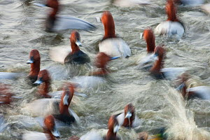 Group of male Pochard (Aythya ferina) on water with motion blur, Welney WWT Reserve, Norfolk, England, UK, January.  -  Guy Edwardes / 2020VISION
