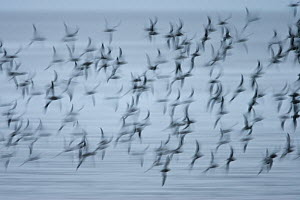 Flock ofKnot (Calidris canuta) in flight, with motion blur, Snettisham RSPB reserve, Norfolk, England, UK, October. - Guy Edwardes / 2020VISION