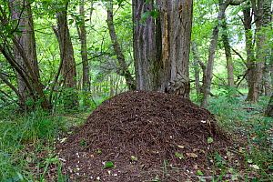 Red Wood Ant (Formica polyctena) nest in forest, Alsace, France, May  -  Eric Baccega