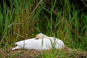 Mute swan (Cygnus olor) on nest, Offendorf Forest Reserve, Rhine, Alsace, France, May. - Eric Baccega