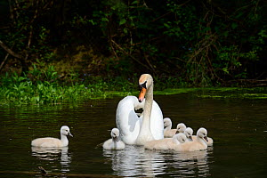 Mute swan (Cygnus olor) female swimming with cygnets less than one week old, Offendorf Forest Reserve, Rhine, Alsace, France, May. - Eric Baccega