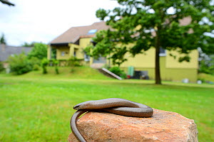 Slow worm (Anguis fragilis) in garden, Alsace, France, May.  -  Eric Baccega