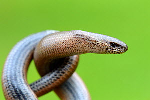 Close-up of Slow worm (Anguis fragilis) with its body coiled, Alsace, France, May.  -  Eric Baccega