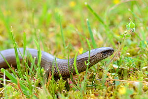 Slow worm on moss (Anguis fragilis) Alsace, France, May.  -  Eric Baccega