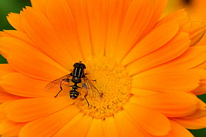 Male Hoverfly (Helophilus pendulus) on Garden marigold (Calendula officinalis) Alsace, France, May. - Eric Baccega