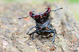 Male stag beetle (Lucanus cervus) on oak bark, showing aggressive display, Alsace, France, May  -  Eric Baccega