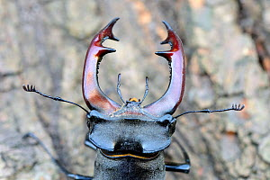 Male stag beetle (Lucanus cervus), close-up on mouth parts and antennae, Alsace, France, May  -  Eric Baccega