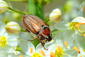 Cockchafer Beetle (Melolontha melolontha) on a Foxtail lily (Eremurus robustus) Alsace, France, May.  -  Eric Baccega