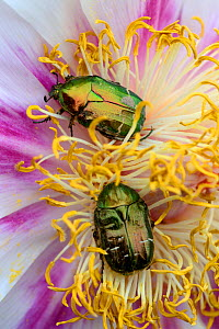 Two Rose Chafer (Cetonia aurata) on Peony flower (Paeonia suffruticosa) Alsace, France, May. - Eric Baccega