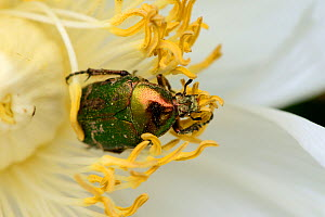 Rose Chafer (Cetonia aurata) on Peony flower (Paeonia suffruticosa) Alsace, France, May. - Eric Baccega