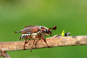 Cockchafer Beetle (Melolontha melolontha) Alsace, France, May.  -  Eric Baccega