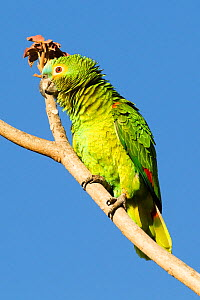 Turqouise-fronted parrot (Amazona aestiva) puffed up, Pouso Alegre, Pantanal, Mato Grosso, Brazil. August. - Mary McDonald