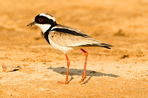 Pied plover (Vanellus cayanus) walking on sand bar on Cuiaba River, Pantanal, Mato Grosso, Brazil. September.  -  Mary McDonald