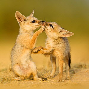 Indian fox (Vulpes bengalensis) pups at play by a den in the Little Rann, Kutch, Gujarat, India.  Honorable mention in the Land Mammals category of the BigPicture Competition 2014. - Sandesh  Kadur