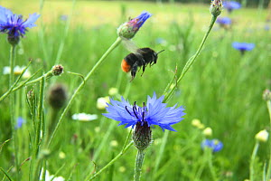 Red-tailed bumblebee (Bombus lapidarius) taking off from Cornflower (Centaurea cyanea) in 'Bee World'. Surrey, England, UK, July 2014. Bee Worlds is an initiative of Friends of the Earth.  -  Kim Taylor