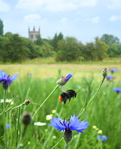 Red-tailed bumblebee (Bombus lapidarius) taking off from Cornflower (Centaurea cyanea) in Bishop's Meadow, Farnham. Surrey, England, UK, July 2014. Digital composite. Bee Worlds is an initiative of Fr...  -  Kim Taylor