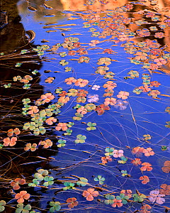 Canyon pool with Water Shamrocks (Marsilea mucronata) floating. Coronado National Forest, Peck Canyon, Atascosa Mountains, Arizona, November.  -  Jack  Dykinga