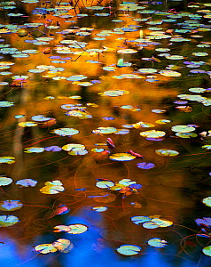 Water lily (Nuphar variegatum) leaves, Seal Cove Pond, Acadia National Park, Maine, USA, November.  -  Jack  Dykinga