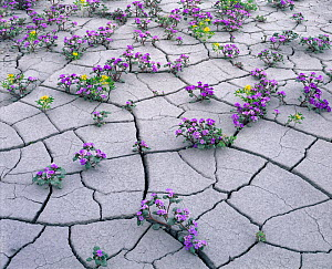 Flowering plants in  dried out mud,  including Yellow Beeplant (Cleome lutea) and Pretty Phacelia (Phacelia pulchella var. sabulonum) Factory Bench, Fremont, Utah, USA, May. - Jack  Dykinga