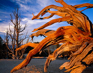 Bristlecone pine (Pinus aristata var.  longaeva) gnarled branches of an old tree,  Bryce Canyon National Park, Utah, USA. - Jack  Dykinga