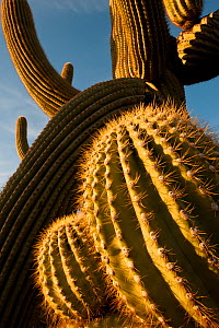 Sunset light on twisted Saguaro cactus (Carnegiea gigantea) Sonoran Desert National Monument,  Arizona, USA, April.  -  Jack  Dykinga