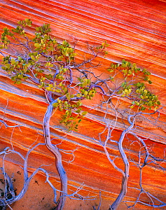 Petrified sand dunes with red and yellow banding with Pointleaf Manzanita (Arctostaphylos pungens) Vermilion Cliffs National Monument, Arizona, USA, August.  -  Jack  Dykinga