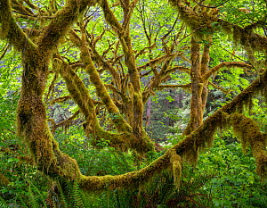 Big leaf maple (Acer macrophyllum) trees covered in moss and surrounded by sword ferns form a maze of tree trunks.  Prairie Creek Redwoods State Park, California, USA, May.  -  Jack  Dykinga