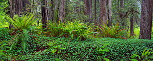 Towering Coastal redwoods (Sequoia sempervirens) rising from forest understory of sword ferns and sorrel, Prairie Creek Redwoods State Park, California, May.  -  Jack  Dykinga