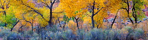 Cottonwood trees (Populus sp) in autumn with curved boughs with understorey of Rabbitbrush (Chrysothamnus) Long Canyon, Grand Staircase-Escalante National Monument, Utah, USA, October.  -  Jack  Dykinga