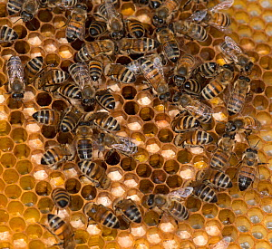 European honey bees (Apis mellifera) on honey comb with cells filled with pollen  -  MD Kern / Palo Alto JR Museum