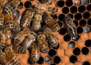 European honey bees (Apis mellifera) on brood comb, with new hatchlings which are paler in colour. Adults include one with Varroa mite (Varroa destructor) - a red patch on central bees thorax, and one...  -  MD Kern / Palo Alto JR Museum