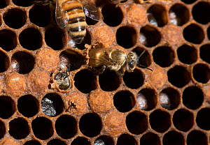 European honey bees (Apis mellifera) hatching from brood comb with larvae. One halfway emerged and another just beginning to emerge chewing it's way out from under cell cap, captive.  -  MD Kern / Palo Alto JR Museum