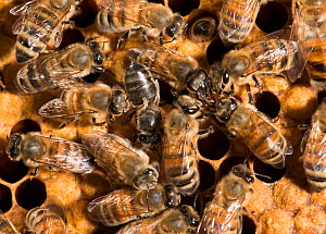 European honey bees (Apis mellifera) on comb with one with deformed wing virus (transmitted by Varroa destructor mites) and group of four participating in food exchange, captive.  -  MD Kern / Palo Alto JR Museum