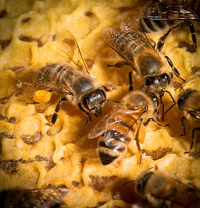 European honey bee (Apis mellifera) carrying pollen on legs, whilst others are building honey comb, captive.  -  MD Kern / Palo Alto JR Museum