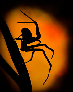 Black Widow (Latrodectus hesperus) spider walking silhouetted against light, captive. - MD Kern / Palo Alto JR Museum