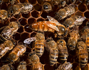 European honey bee (Apis mellifera) queen laying eggs, surrounded by workers who lick her to take up her odour which is spread throughout the colony, captive.  -  MD Kern / Palo Alto JR Museum
